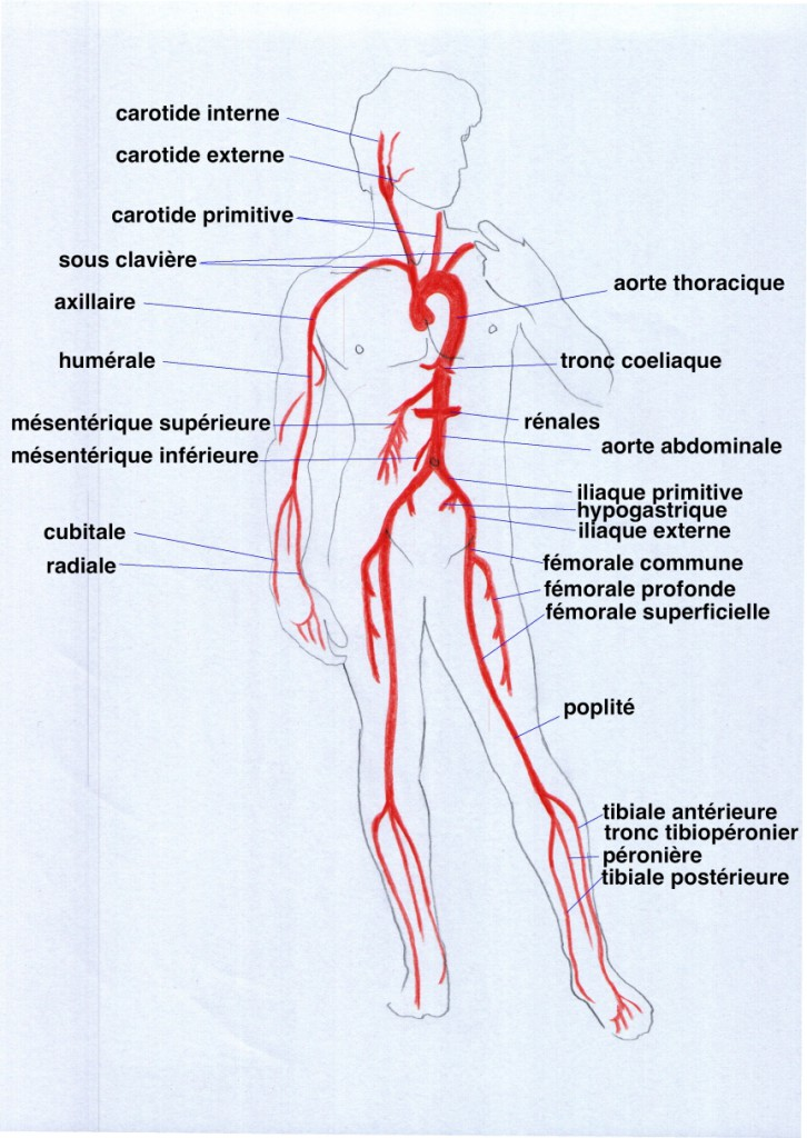 anatomie des artères